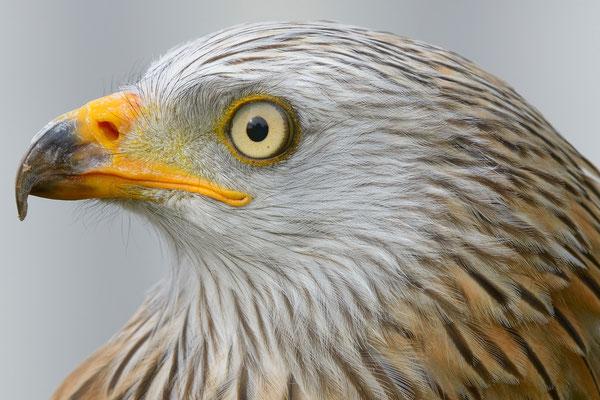 Rotmilan (Milvus milvus); Jagdexemplar, Luzerner Hinterland, Herbst 2012