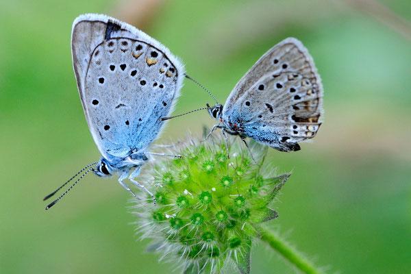 Prächtiger Bläuling Polyommatus amandus); Tschlin GR; 31-7-2012