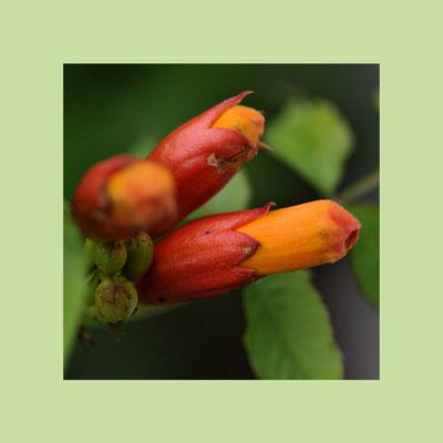 """Trompetenblume (Campsis), auch """"Klettertrompeten"""""""