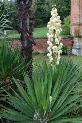 Kerzen-Palmlilie (Yucca gloriosa) vor romanischer S. Maria die Vezzolano, Albugnano (Piemonte); 3.10.2015