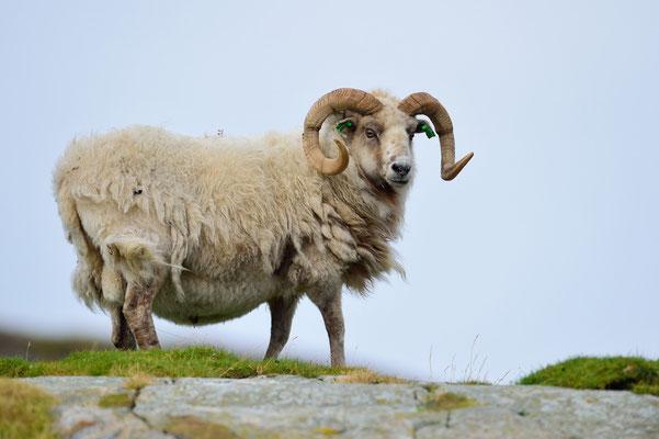 Dall-Schafe (Ovis dalli) (??!!) auf den gletschergeschliffenen Fjordkuppen; 8. September 2015, Lauvsnes (Flatanger Norwegen)