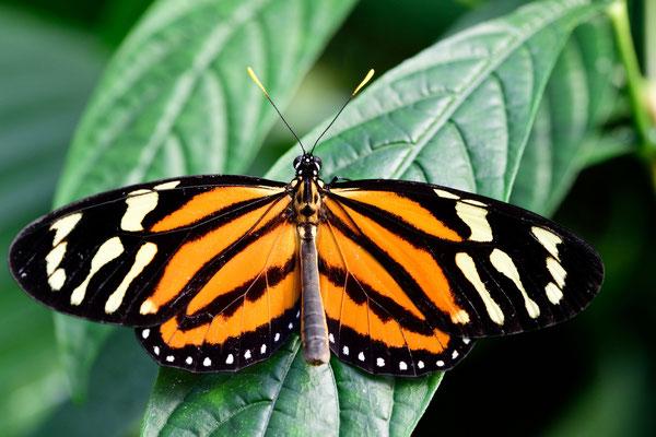 Tiger Passionsfalter (Heliconius ismenius)