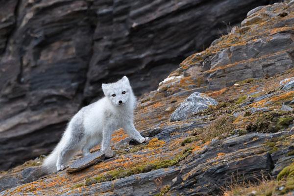 Es könnte sich ja vielleicht noch etwas anderes ergeben, weshalb plötzlich, praktisch aus dem Nichts hereus ein Polarfuchs zugegen ist..
