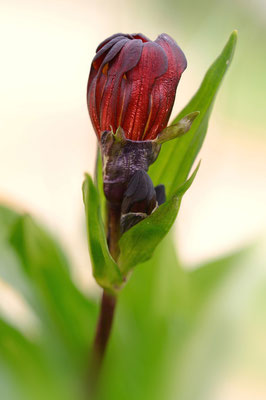 Purpur-Enzian (Gentiana purpurea); Kreuzboden VS; 3. August 2015