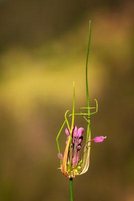 Schlangen-Lauch (Allium scorodoprasum); 2. August 2012; Tschlin (Unterengadin GR)