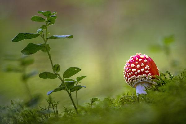 Der Schönste im Heidelbeerenwald: Fliegenpilz; Etang de la Gruère, September 2018