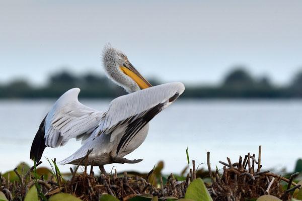 Krauskopfpelikan (Pelecanus crispus); Rumänien Donaudelta; Juni 2014