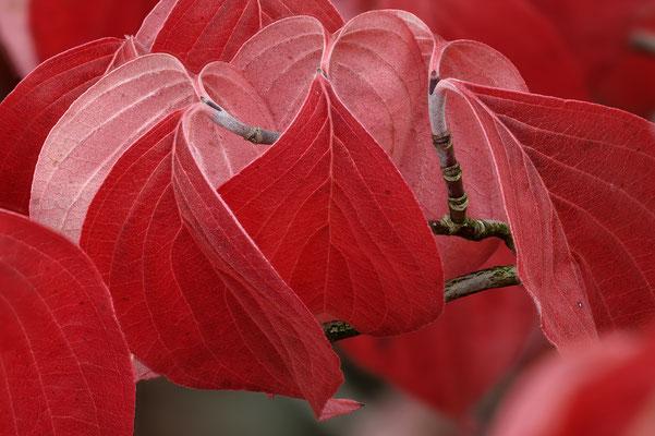 Japanischer Hartriegel: Herbstfärbung 'Roter Oktober'; 11.10.82, Jarin Musette