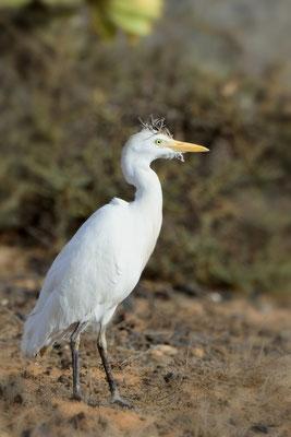 Kuhreiher (Bubulcus ibis); 10. Februar 2016