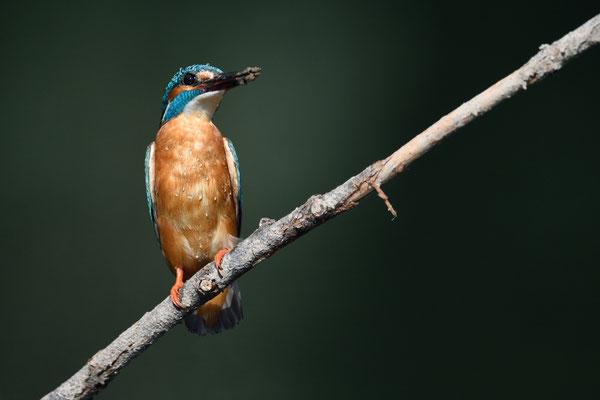 Eisvogel (Alcedo atthis); Rumänien; Juni 2014