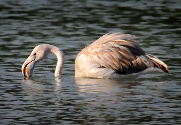Junger Rosaflamingo im Flachsee bei Unterlunkhofen (!), 20-8-11