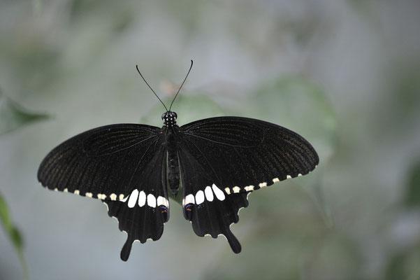 Gewöhnlicher Mormone (Papilio polytes)