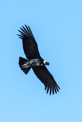 Andenkondor (Vultur gryphus)