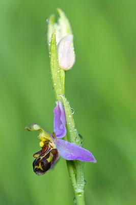 Bienenragwurz (Ophrys apifera); 2. Juni 2017