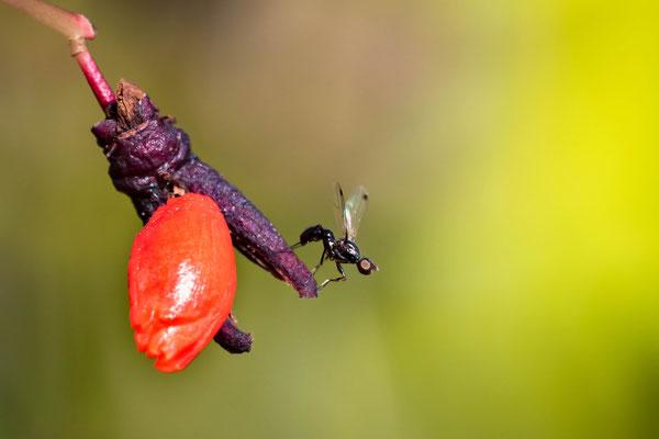 Das andere Pfaffenhütchen der Art 'Flügel-Spindelstrauch' (Euonymus alatus)  mit Ballerina (Schwingfliege;  Sepsis fulgens)