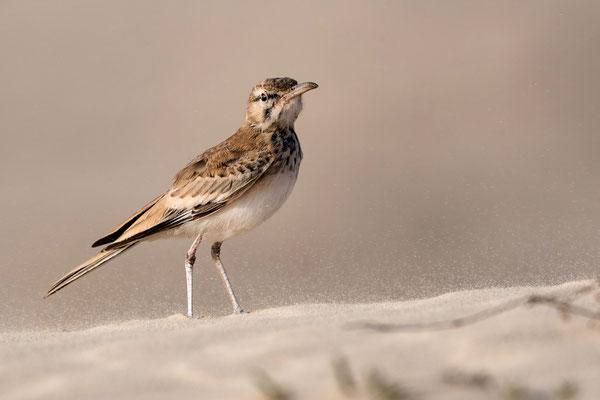 Wüstenläuferlerche, Boavista