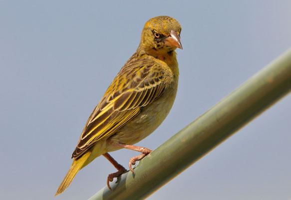 Somaliweber ((ploceus spekei)