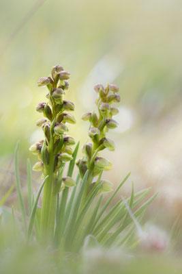 Die kleinen Unscheinbaren 2: Zwergstendel (Chamorchis alpina), auch Zwerg-Knabenkraut oder Zwergorchis; Furka 5.7.2017