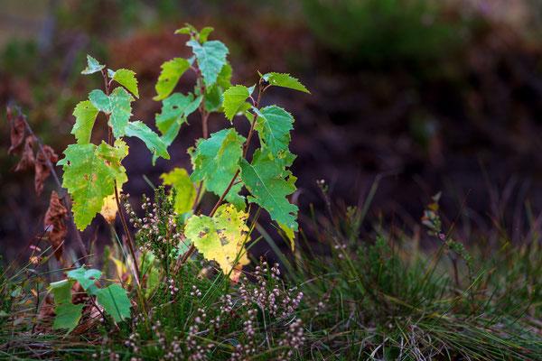 Einsetzende Herbstfärbung im finnischen Moor