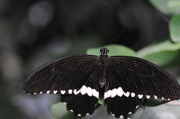 Kleiner Mormone (Papilio polytes)