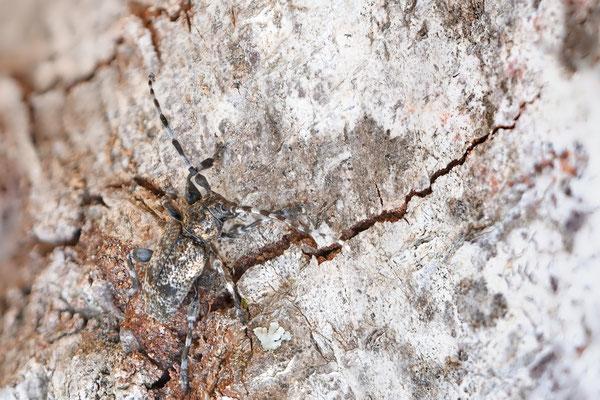 Der Keulenfüßige Scheckenbock (Aegomorphus clavipes); Isenthal, 12 Juli 2018