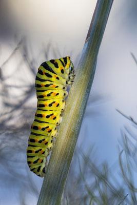 Schwalbenschwanz-Raupe (Papilio machaon); im eigenen Heim 'grossgezogen', Oberseeburg Luzern, 27. Juni 2019
