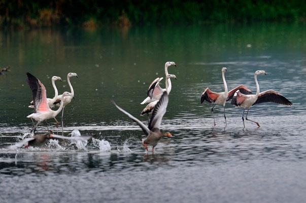 Junge Rosaflamingos im Flachsee bei Unterlunkhofen (!), 17-9-11