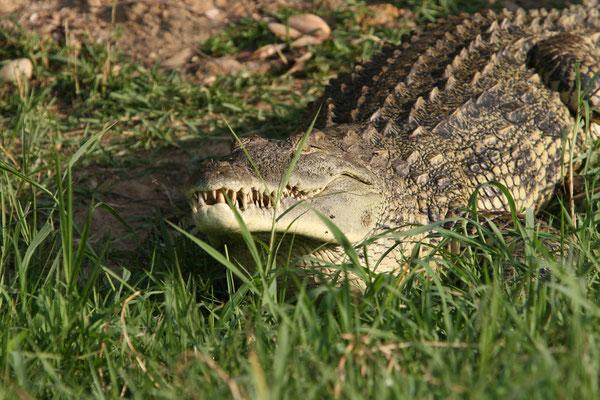 Nilkrokodil (Crocodylus niloticus), Victoria-Nil Uganda