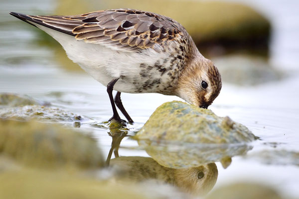 Alpenstrandläufer (Calidris alpina) Jona SG; 20.9.2015