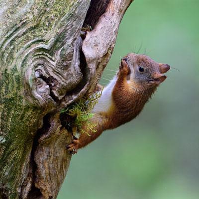 Eichhörnchen (Sciurus vulgaris); im Wald bei Lauvsnes (Flatanger NO); 8.9.2015