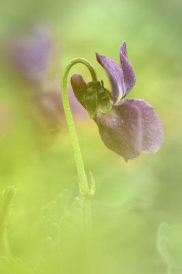 Duftveilchen (Viola odorata), rein violette Ausprägung sehr selten; Rotberg(AG); 2. April 2016