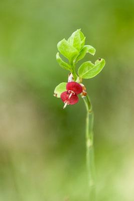 Auswahlbild 16 - Heidelbeerblüten