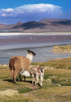 Lamamama nährt Kalb in der Salzlagune 'Laguna Colorada'