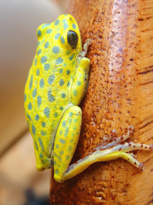 3 cm grosser (kleiner) Baumfrosch; Jinja Uganda; 1. März 2008 (Yellow Aftican Reed Frog | VIBRANT Common Reed Frog (Hyperolius viridiflavus variabilis).