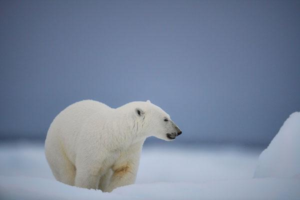 ...erster Eisbären-'Alarm'; wie die Feuerwehr in die Klamotten und Ausrüstung sofort einsetzen; kaum Licht: ISO 3200