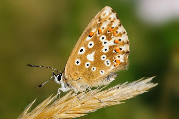 Silbergrüner Bläuling (Polyommatus cordion); Motta Naluns GR; 31-7-2012