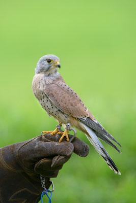 Turmfalke   Falco tinnunculus   ; Jagdexemplar, Luzerner Hinterland, Herbst 2012