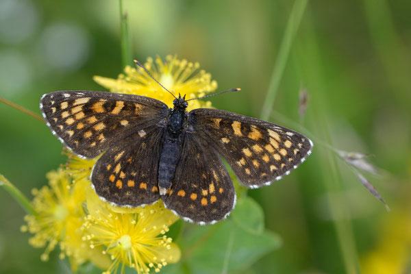 55 Ehrenpreis-Scheckenfalter(Melitaea aurelia); Montenegro, Juli 2014