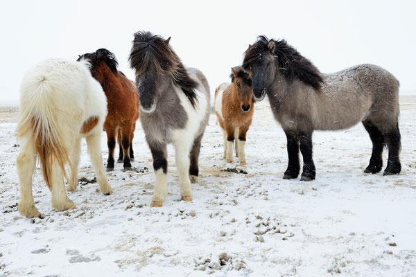 Islandpferde, auch Isländer oder Islandpony genannt; zwischen  Skaftafell und Vik