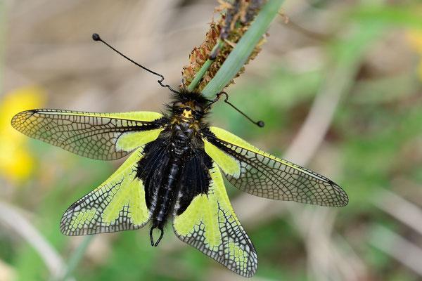 Libellen-Schmetterlingshaft (Libelloides coccajus); 2. Mai 2015