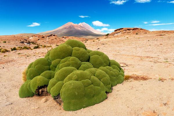 Der Aussichtspunkt zum Ollague gibt auch Sicht auf den Callejon Cañapa (11 km) und überrascht mit bemerkenswert grossen Yareta