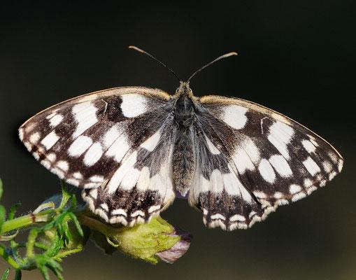 Schachbrettfalter (Melangaria galathea); Ausserberg VS