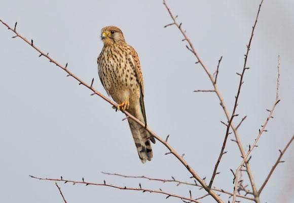 Turmfalke   Falco tinnunculus   ; Müntschemier; 26-2-2012