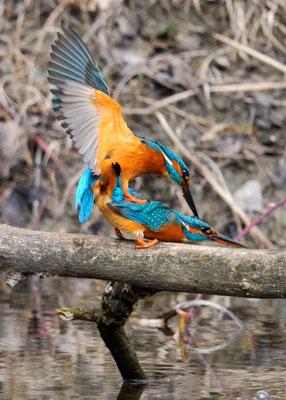Eisvogel Frühling