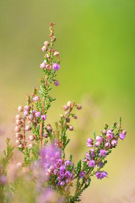 Besenheide (Calluna vulgaris), Hochmoor beim Etang de la Gruère, 5. September 2018