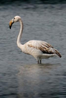 Junger Rosaflamingo im Flachsee bei Unterlunkhofen(!), 17-9-11
