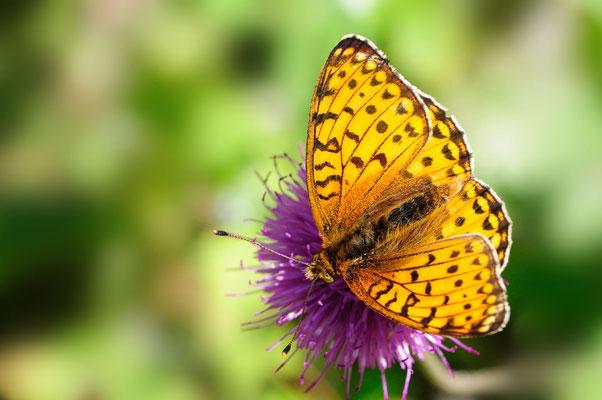 90 Grosser Perlmutterfalter (Argynnis aglaja); Motta Naluns GR; 31-7-2012