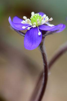 Leberblümchen (Hepatica nobilis, Syn.: Anemone hepatica), 18. März 2015