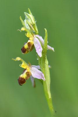 Zweifarbiger Bienenragwurz (Ophrys apifera bicolor); 2. Juni 2017