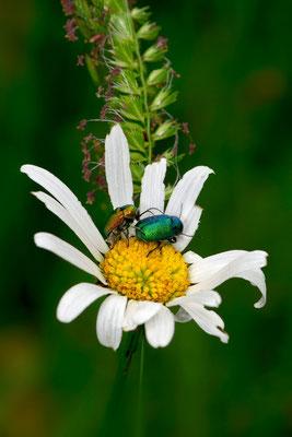 zwei kleine Käferlein; Cheschteneweid Weggis